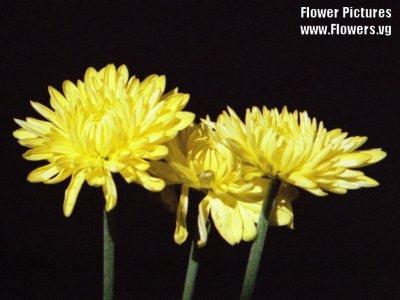 crizantemegalbene